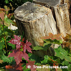 Tree Stump Removal: New Red Maple Tree Growth after Stump not Removed