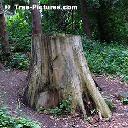 Tree Stump Removal: Hardwood Tree Stumps Rot Slowly lasting a long time. Tree Stumps located on hillsides or slopes add to  the cost and problems of Stump Removal