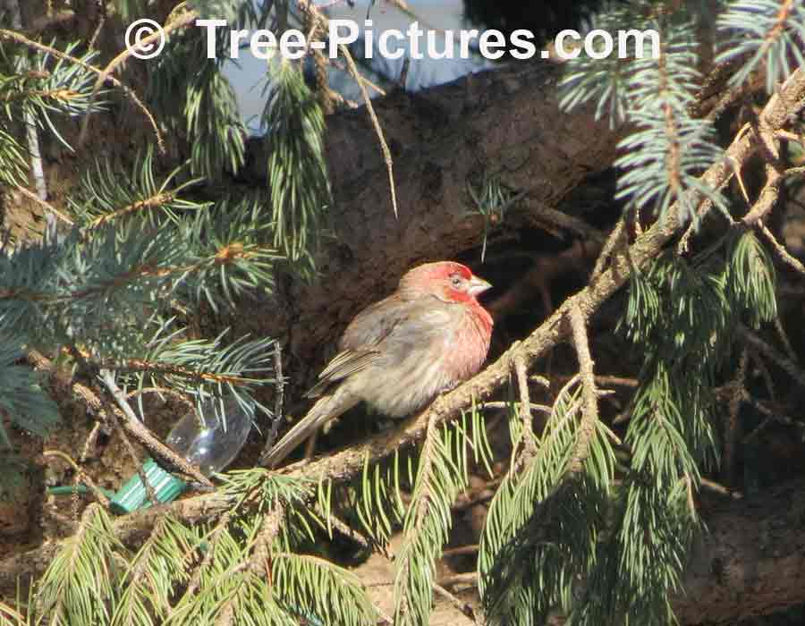 Forest Bird Picture: Female Red Cardinal in a White Spruce Tree | Forest:Bird:Cardinal at Tree-Pictures.com