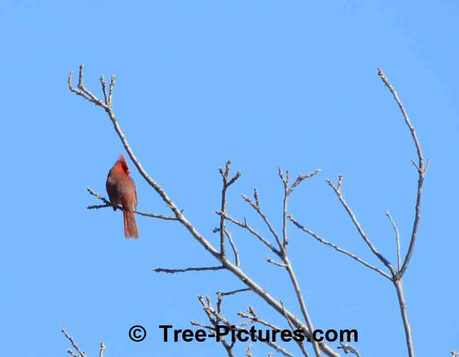 Forest Bird Picture: Male Red Cardinal Sitting in the Tree Tops, Calling for a Mate | Forest+Bird+Cardinal at Tree-Pictures.com