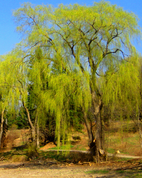 Weeping Willow Tree Picture