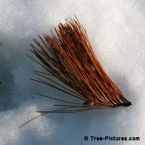 Winter Tree Pictures, Colorful Pine Tree Needles on the Snow Photo