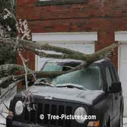Tree Services Emergency: Crashes Tree on Vehicle Photo