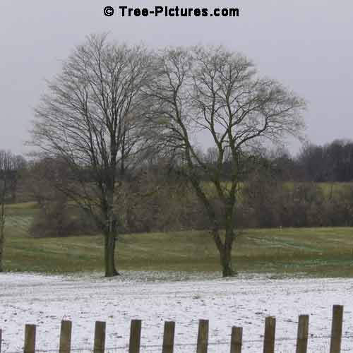 Winter Tree Pictures, 2 Large Maple Trees behind a Snow Fence Pic