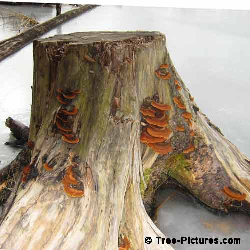 Winter Tree Pictures, Red Brown Fugus Growing on Old Tree Stump Image