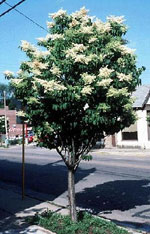 Japanese Lilac Tree Picture