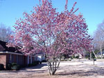 japanese magnolia tree picture