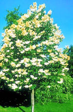 Japanese White Lilac Tree, Pretty Image of flowering Japanese White Lilac Tree