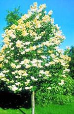 Japanese White Lilac Tree Pretty Bild der blühenden japanischen White Lilac Baum