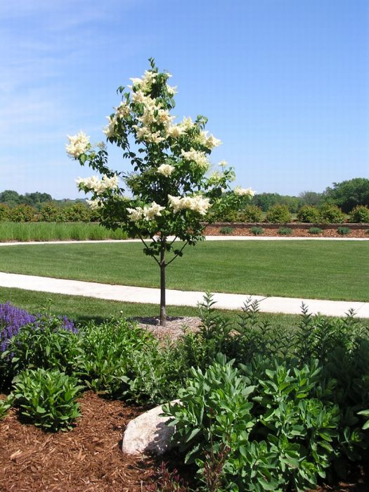 Lilac Tree Pictures Photos Images