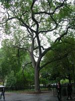foto del árbol de ébano