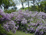 Blom Lilac Bushes
