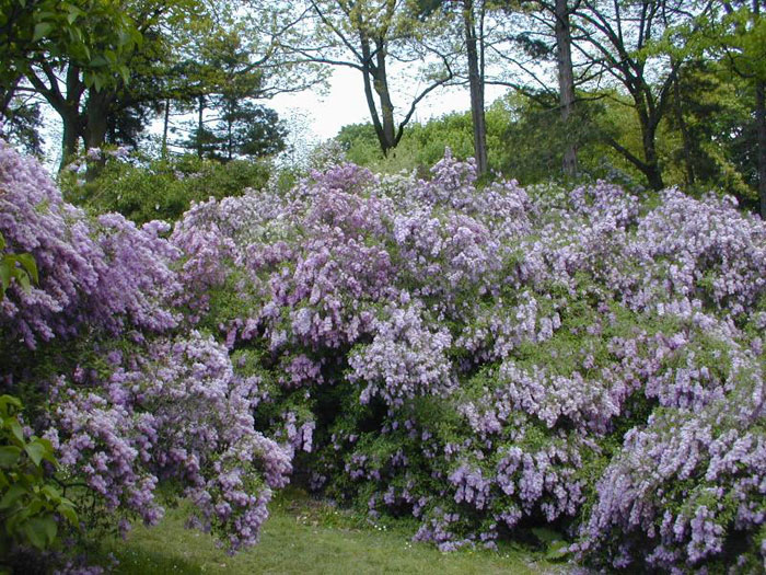 Lilac Tree Pictures, Photos, Images