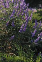 Mönchspfeffer Lilac, Lilac Mönchspfeffer