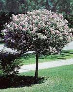 lila Baum