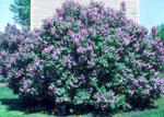 Lila bloeisels in die lente