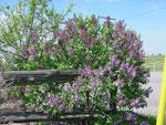 árvore lilás