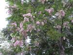 lila ağaç