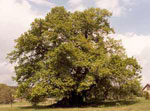 linden tree picture
