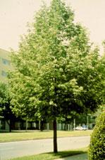 الصورة شجرة الزيزفون