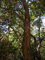 العسل الجراد الخشب شجرة