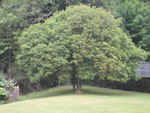 Manna Ash, Photo of Manna Ash Tree