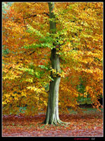 maple tree picture