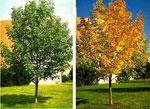 Marshall Ash, Spring & Fall Gambar Pokok Ash Marshall