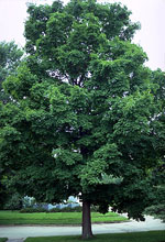 Maple Tree Picture, Fotos Maples Trees, Maple Tree Images, Pics von Maples Trees