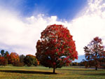 Red Maple Tree Gambar, Foto Autumn Maples Tree, Red Maple Tree Images, Pics Maples Pokok