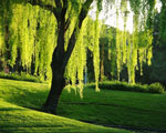Willow tree picture; Garden Landscape with Weeping Willow Tree Type