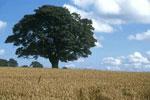樫の木の絵