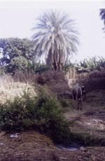 gambar pokok kelapa