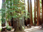 picture sequoia