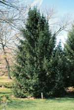 Abete rosso, Big Norway Spruce Tree Picture
