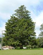 Norway Spruce, Norway Spruce drzewa Stock