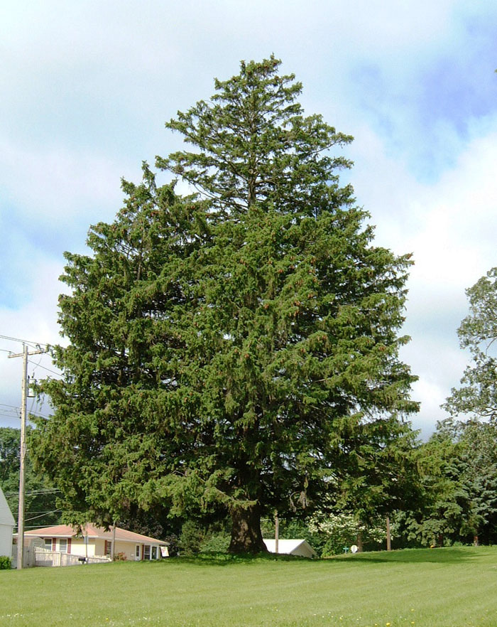 norway-spruce-tree.jpg