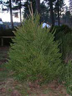 Norge Spruce, Young Norge Gran treet Bilde