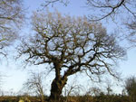 oak tree pictures
