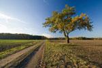 樫の木の写真