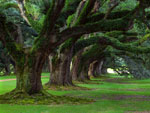Oak Foto Pohon, Gambar dari Big Old Oak Tree