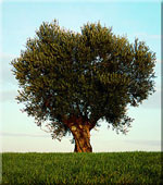 olive tree picture