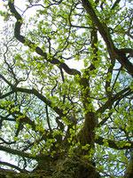 foto árbol del espino