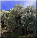 olive tree pictures