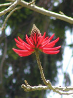 Palm Flower Larawan: Larawan, Larawan ng Red Palm Tree Bloom