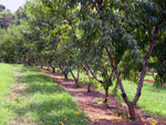 Peach Photo Tree: Row Peach Trees