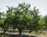 PEACHTREE: گوجه سبز پرسیکا