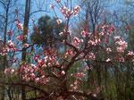 персиковое дерево фото