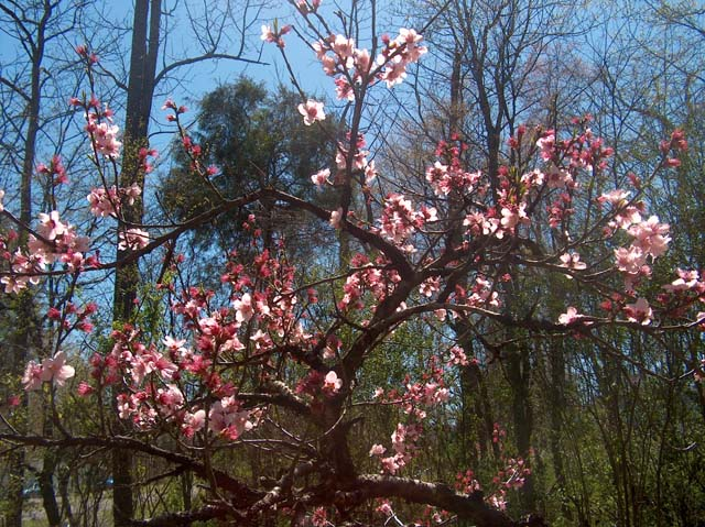 lower peach tree single men But that spring, the couple planted one willow tree, one oak tree and two peach trees along the street, along with peach, cherry and plum trees lining their driveway.