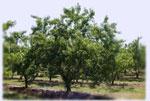 Pfirsichbaum Bild